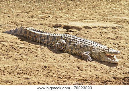 Masai Mara Crocodile
