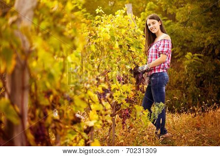 Woman winegrower picking grapes at harvest time in the vineyard