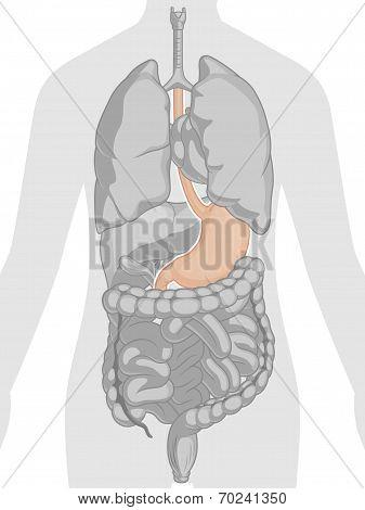 Human Body Anatomy - Stomach