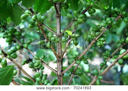 Coffee Tree With Green Coffee Beans On The Branch