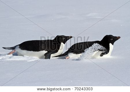 Two Adelie Penguin Who Crawl On Their Bellies Through The Snowy Plains Of Antarctica