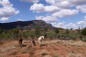 Wild Horses standing in the Outback. Wilpena Pound. Australia poster