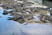 Australian Freshwater Crocodiles at Crocodile Farm in Queensland. Australia poster