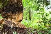 Tree chewed by beaver at forest poster