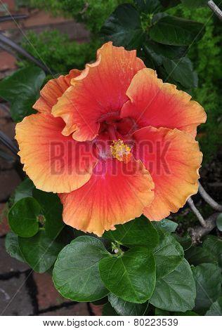 Scarlet flower.