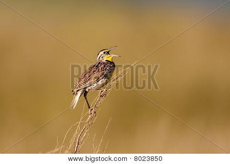 Male Western Meadowlark