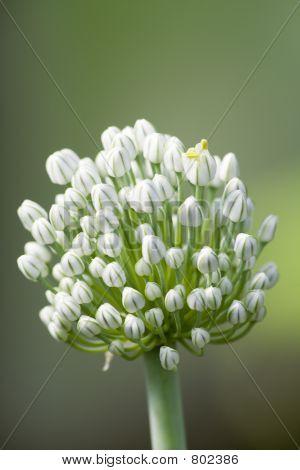 Blossoming onions III
