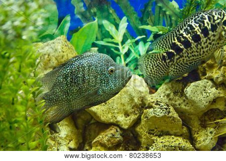 Diamond (perl) Cichlasoma And Cichlidae Parachromis Managuensis