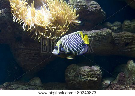 Fish-angel (fish-emperor) And Actinia (sea Anemona)