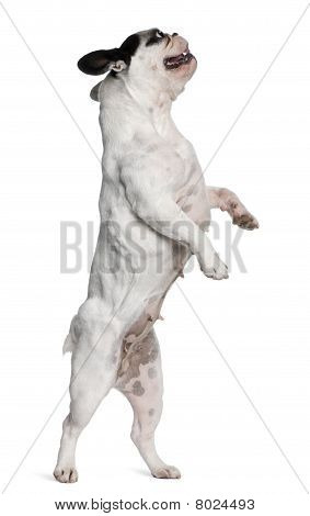 French Bulldog Standing On Hind Legs In Front Of White Background