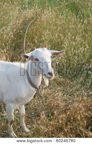 White Goat In Rye