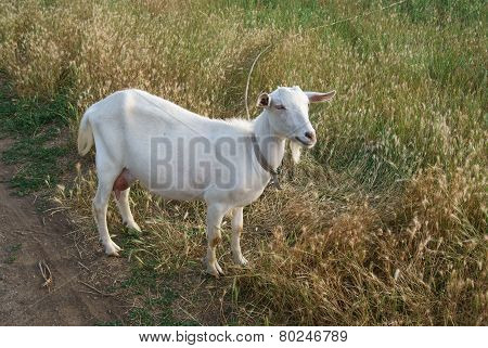 White Goat On The Road