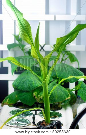 Hydroponic Corn And Cucumbers