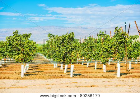 Grapes Plantation Vineyards in Indio Coachella Valley California United States poster