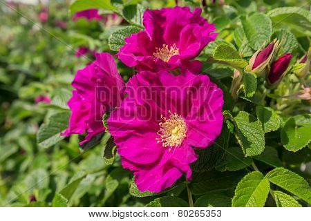 A hybrid rugosa shrub rose flowering in the summer garden.