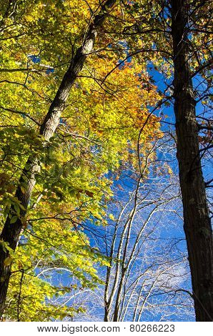 Blue Sky And Yellow Leaves