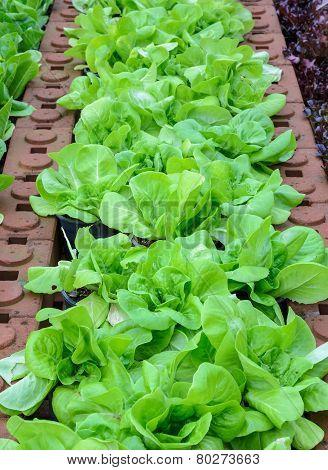 Green Leaf Lettuce Vegetable