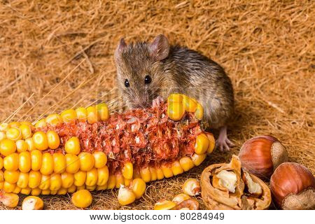 House Mouse (mus Musculus) Eating Corn
