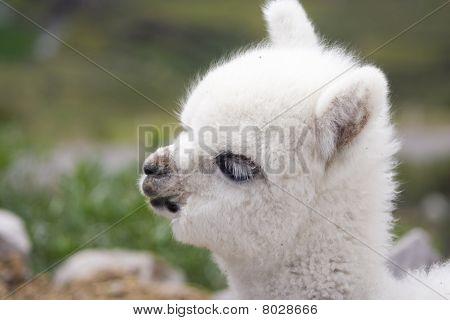 White Baby Alpaca