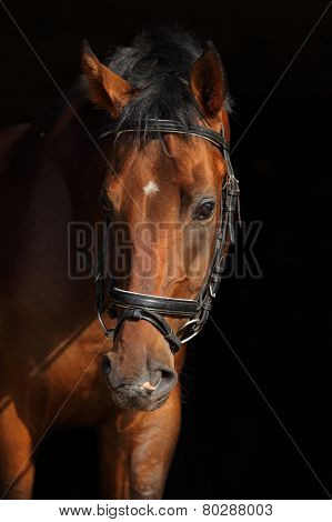Oldenburg horse, portrait at black background