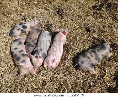 Sleeping pigs on the straw