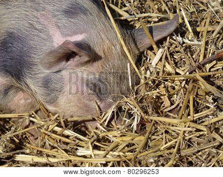 A mottled piglet