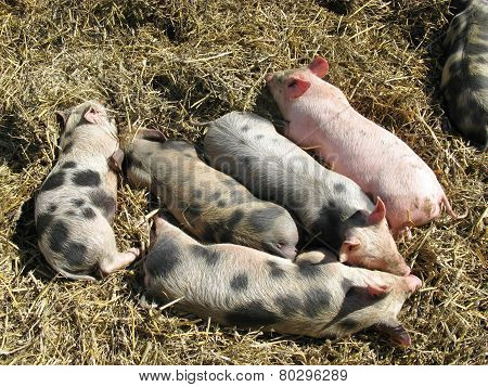 Baby pigs on the straw