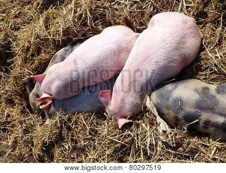 Young pigs in the straw of a farm