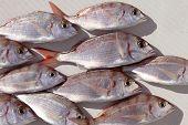 common pandora fish pagellus erythrinus catch background poster