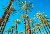 Under the Palms in Coachella Valley California. Palms and the Blue Sky. poster