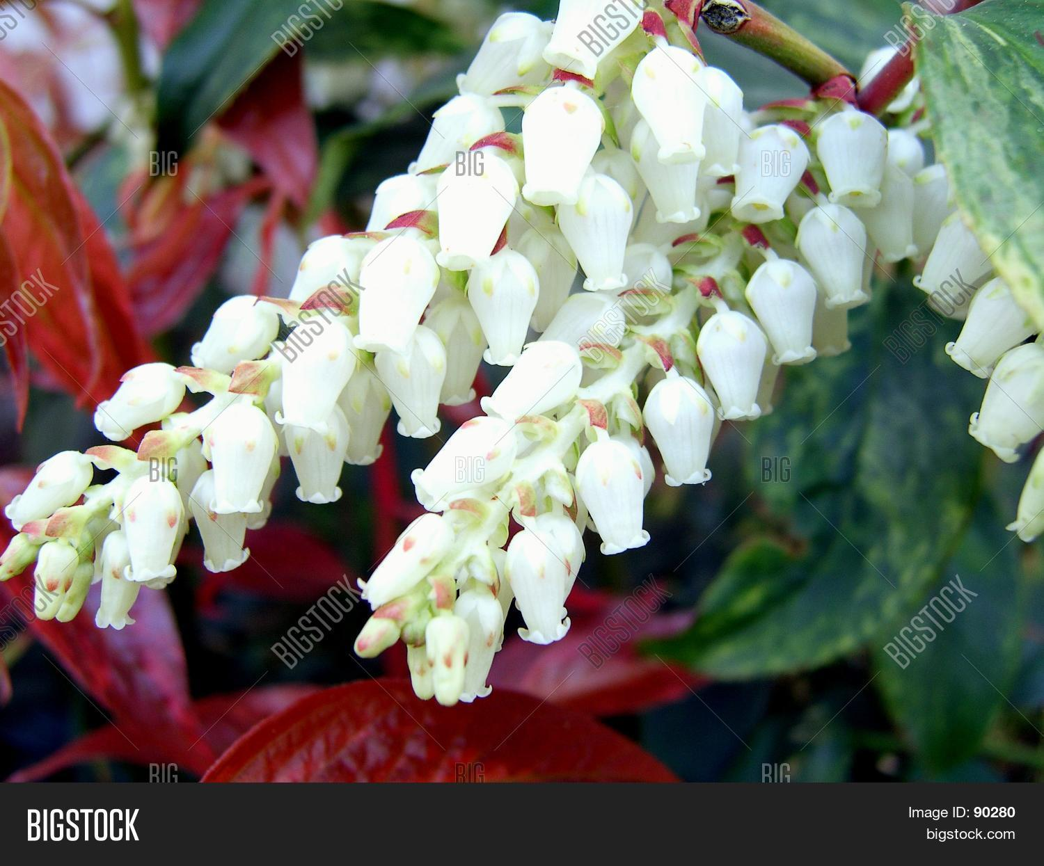 White Bell Flowers Image Photo Free Trial Bigstock