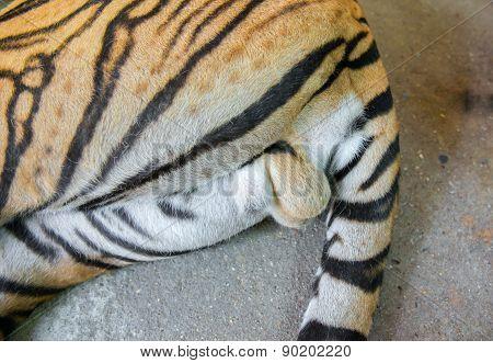 Testis Of Bengal Tiger