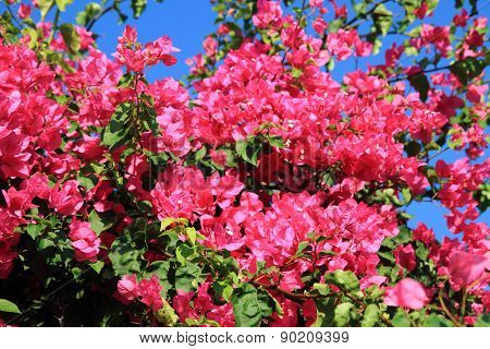Bouganvillea Flower