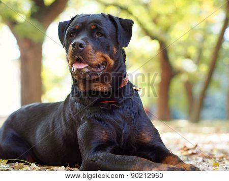 Noble Rottweiler lying in the park