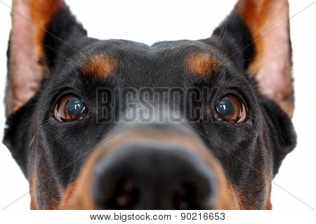 Close up of muzzle by doberman pinscher