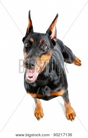 Top view of extravagant doberman pinscher