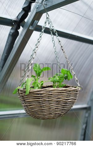 View Of The Hanging Pot With Seedlings.
