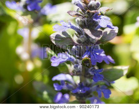 Wild Flower Blue Knapweed