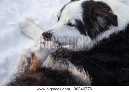 Dog Biting Ice From His Paw