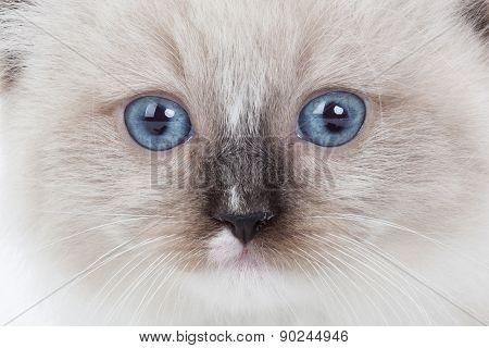 Closeup Kitten Face