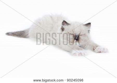 Ragdoll kitten wakening up and stretching on white background poster