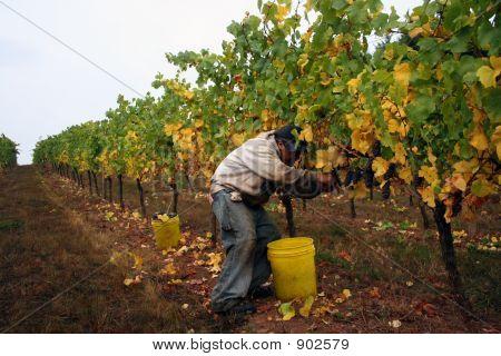 Man Harvesting Grapes