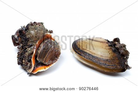 Veined Rapa Whelk And Anodonta (river Mussels)