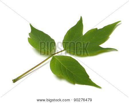 Green Acer Negundo Leaf On White Background