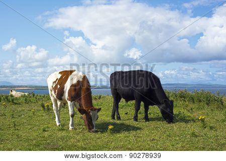 Cattle Feeding Near Cliffs On The Wild Atlantic Way