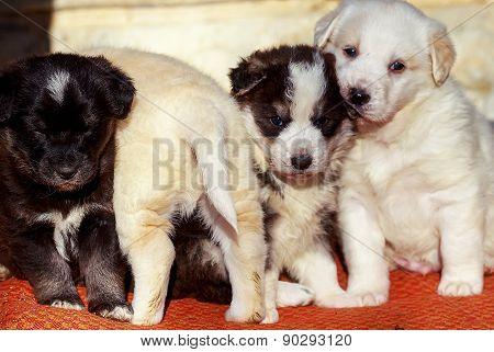 Wonderful Little Puppy Dog, Group Of Shepherd Dog