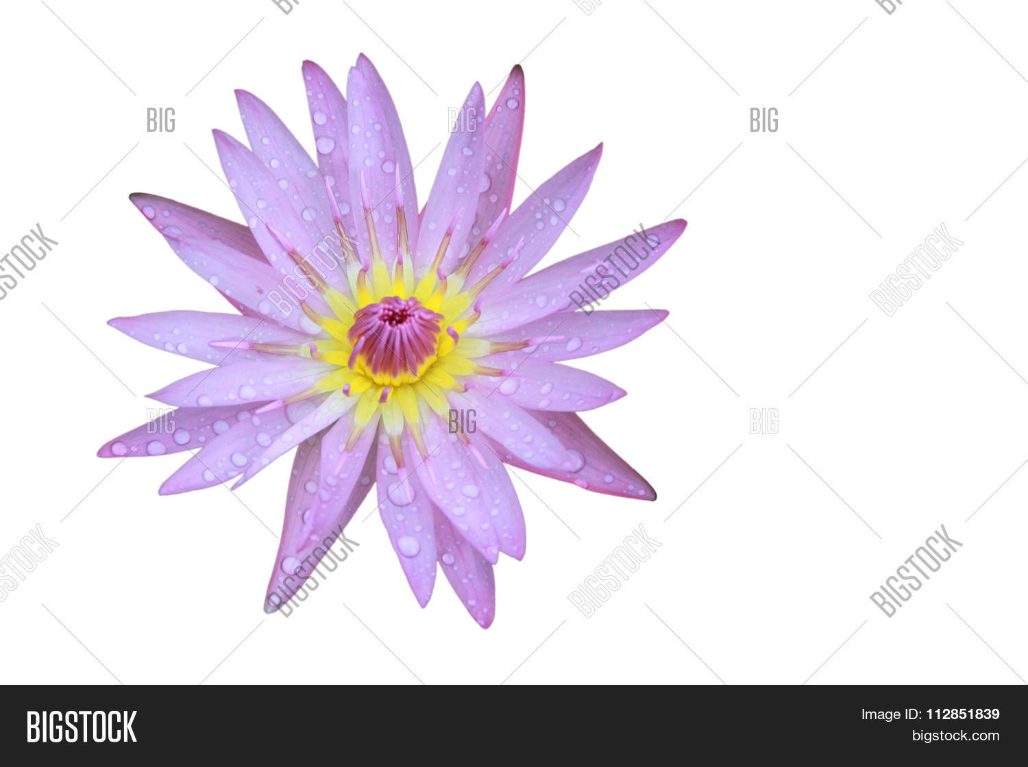 Purple lotus flower image photo free trial bigstock purple lotus flower top view has some drop water on the petal isolated on white izmirmasajfo