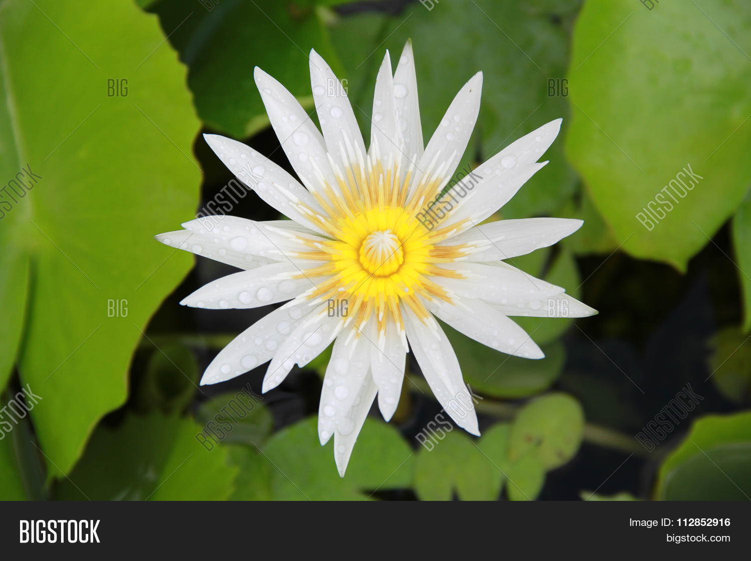 Bright white lotus image photo free trial bigstock bright white lotus flower top view in the pool has some drop water on the petal izmirmasajfo