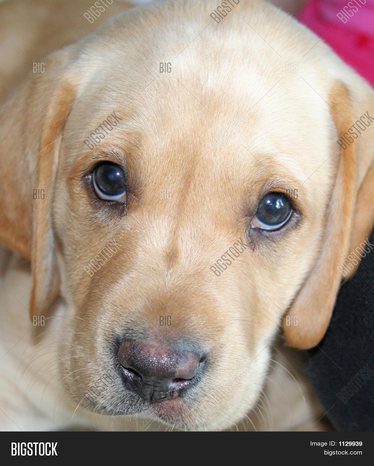 Sad Puppy Dog Eyes Image Photo Free Trial Bigstock