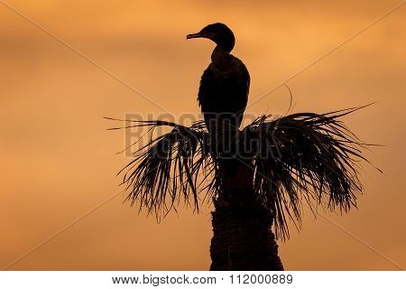 Double-crested Cormorant Roosting On A Palm Tree At Sunset